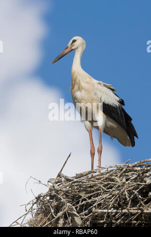 White Stork (Ciconia ciconia), juvenile ready to fledge standing on the edge of the nest - Stock Photo