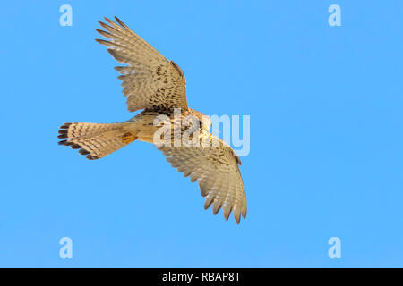 Lesser Kestrel (Falco naumanni), adult female in flight seen from below - Stock Photo