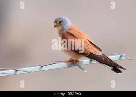 Lesser Kestrel (Falco naumanni), adult male perched on an antenna in Matera - Stock Photo
