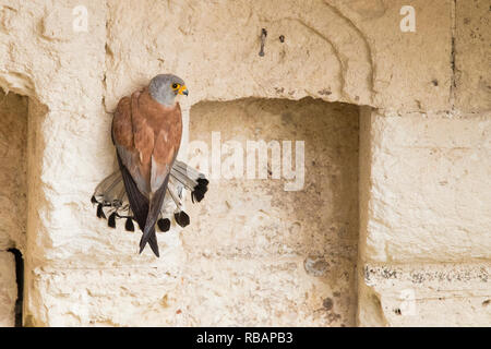 Lesser Kestrel (Falco naumanni), adult male grabbing at a wall in Matera - Stock Photo