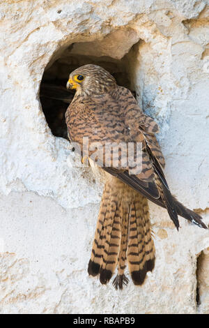 Lesser Kestrel (Falco naumanni), adult female at the entrance of the nest in Matera - Stock Photo