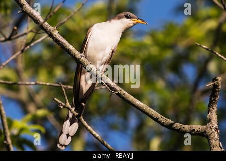 Yellow billed cuckoo up close - Stock Photo