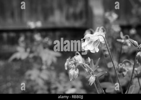 Aquilegia flowers covered in raindrops, with wet garden flower bed beyond - monochrome processing - Stock Photo