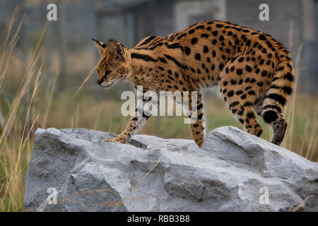 UK, Hamerton Zoo - 17 Aug 2018: Female Serval in captivity - Stock Photo