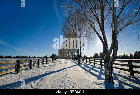 A row of willow trees in winter after a snowstorm line this long ranch driveway near Tumalo, Oregon on a December morning. - Stock Photo