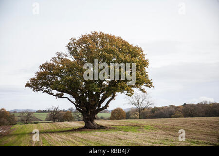 single tree standing in a field in the middle of the English countryside on an overcast grey day, with green leaves and green grass in England - Stock Photo