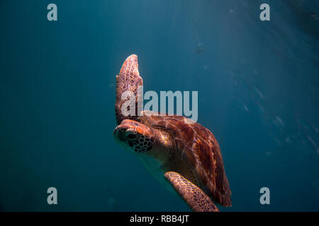 A hawksbill sea turtle swims in Barbados's tropical water. - Stock Photo