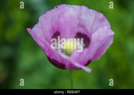 Purple Poppy flower, Papaver somniferum poppy in an English garden - Stock Photo