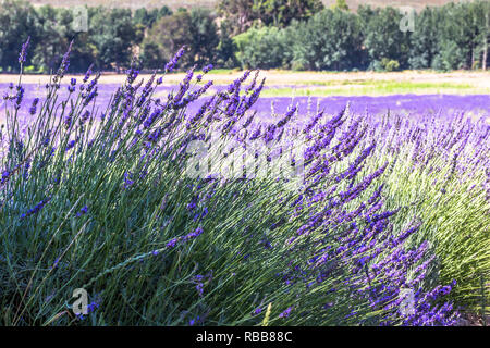 Lavender fields near Franschhoek, Western Cape South Africa - Stock Photo