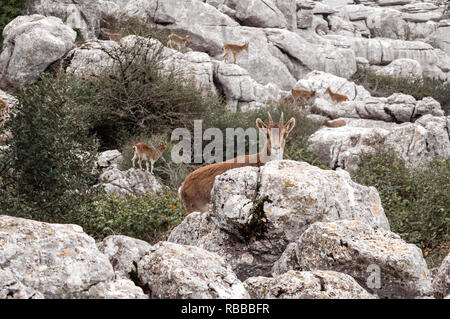 Wild goat looking at camera in El Torcal of Antequera, in Malaga. Background with group of goats, fauna and vegetation of this natural reserve. - Stock Photo