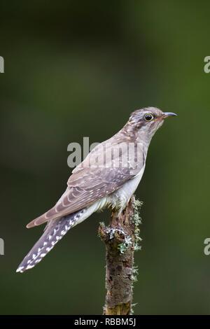 paliid cuckoo cuculus pallidus full legth body looking to side sitting on old tree stump north west tasmania australia - Stock Photo
