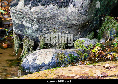 large gray stone in pond growing moss in summer with dead leaves around it - Stock Photo