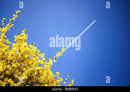 Airplane condensation trail going up on blue sky. Yellow blooming bush background. Prosperity concept - Stock Photo