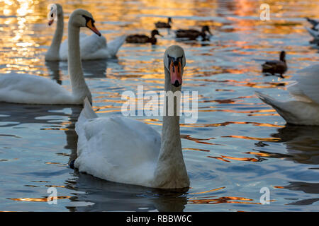 Portrait of a gorgeous swan swimming among other birds in the waters of Vltava river in Prague, Czech Republic, during the Golden Hour - Stock Photo