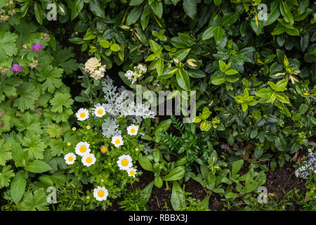 Closeup of garden flowers in Kirkwall, Orkney, Scotland, United Kingdom, Europe. - Stock Photo