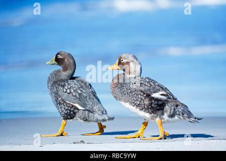 A male and a female steamer ducks (Tachyeres brachypterus) walking together, Sea Lion Island, Falkland Islands, - Stock Photo