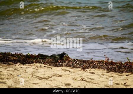 A black bird picking through the seaweed on a beach - Stock Photo