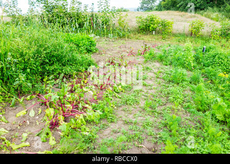 Red, green colorful beet leaves greens on ground in summer garden with vegetable plants growing on dirt soil rows in Ukraine - Stock Photo