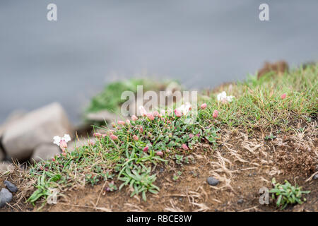 Closeup of flowers on cliff in Vik, Iceland called silene uniflora herbaceous perennial plant or sea campion with blooming white petals and nobody - Stock Photo
