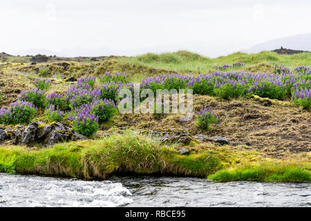 Colorful purple lupine flowers in Iceland with valley river stream and many plants landscape - Stock Photo