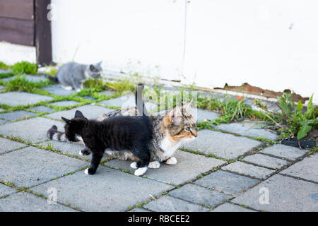 Calico mother stray farm cat and small black and grey kitten bonding rubbing outdoors near farm house building on street - Stock Photo
