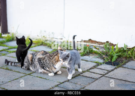 Calico mother stray farm cat and small grey and black kittens bonding rubbing outdoors near farm house building on street - Stock Photo