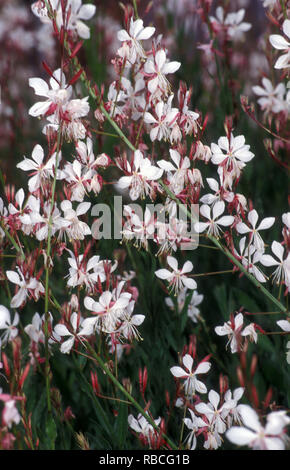 Oenothera lindheimeri (Butterfly bush) formerly Gaura lindheimeri, and also known as Lindheimer's beeblossom, white gaura, pink gaura, Lindheimer's cl - Stock Photo