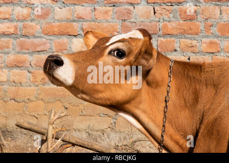Jersey cow face head side view, cow looking up, brown cow - Stock Photo