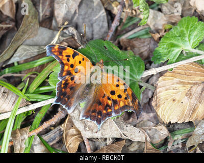 Polygonia interrogationis, the question mark butterfly, in November in Texas, USA - Stock Photo