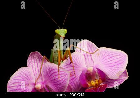 African Lined Mantis (Sphodromantis lineola) - Stock Photo