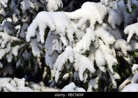Yew tree under snow in winter. Europäische Eibe. Taxus baccata. Tiszafa a hó alatt télen. - Stock Photo
