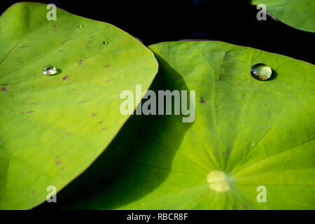Water dew on lotus leaf - Stock Photo