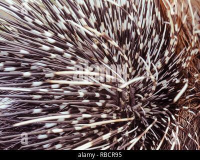 Big porcupine quills, close up - Stock Photo