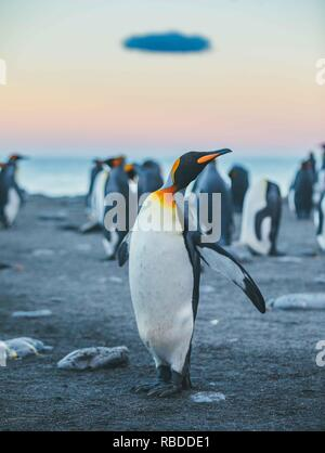 INCREDIBLE images have captured a 'sea' of penguins with hundreds of the birds as far as the eye can see. The stunning shots show the penguins gathering on the beach with their young as the mountains rise high into the sky behind them. Other striking pictures show the sun setting as the penguins waddle across the beach and the proud animals sticking their beaks into the air. The remarkable scene was captured in South Georgia in the Sub Antarctic Islands of Antarctica by polar photographer David Merron (42), from Toronto, Canada. Mediadrumimages / David Merron - Stock Photo