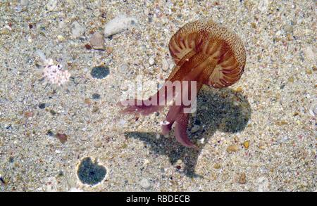 Pelagia noctiluca Jellyfish in the sea of Gozo island, Malta - Stock Photo