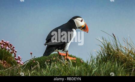 The Atlantic puffin seabird at Sumburgh Head near Lerwick, Shetland Islands, Scotland, Europe. - Stock Photo