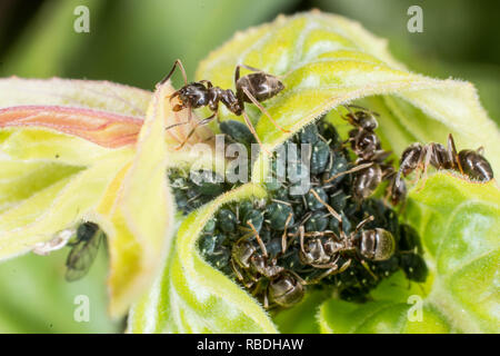 Common garden ants and black aphids - Stock Photo