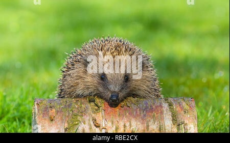 Hedgehog, wild, native, European hedgehog peeping over a Silver Birch log, with blurred green background.  Scientific name: Erinaceus europaeus. - Stock Photo