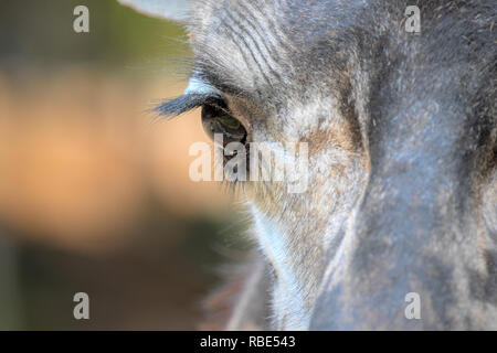 Masai Giraffe - Giraffa camelopardalis tippelskirchii Captive Specimen - Stock Photo