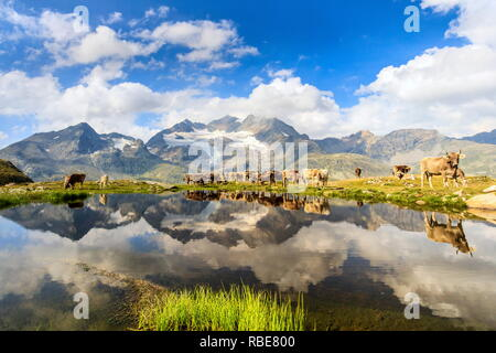 Cows on the shore of the lake where high peaks and clouds are reflected Bugliet Valley Bernina Engadine Switzerland Europe - Stock Photo