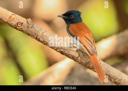 African Paradise-Flycatcher / Terpsiphone viridis - Stock Photo