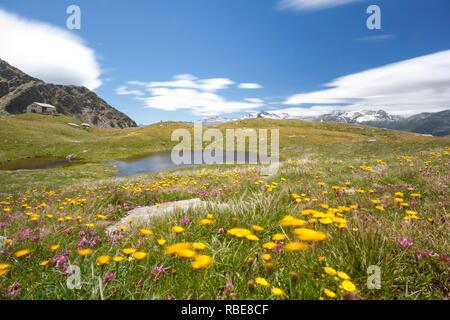 Flowers around Lake Emet and Rifugio Bertacchi Montespluga Chiavenna Valley Sondrio province Valtellina Lombardy Italy Europe - Stock Photo