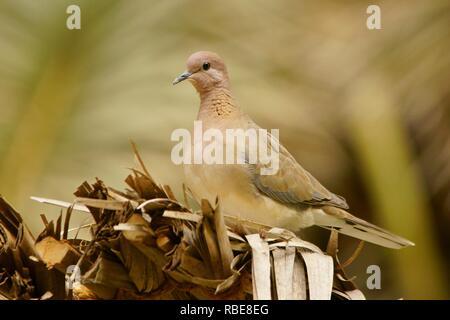 Laughing Dove / Streptopelia senegalensis - Stock Photo