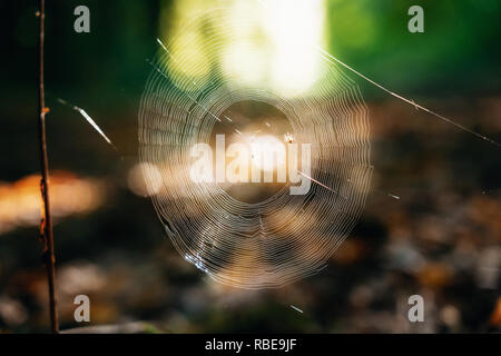 Spider and prey in cobwebs on branch with dew drops in morning. Selective focus - Stock Photo