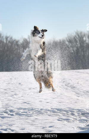 Funny Border Collie dog playing and jumping in a meadow covered with snow on a cold sunny winter day - Stock Photo