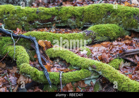 decaying  old tree branches covered in moss - Stock Photo
