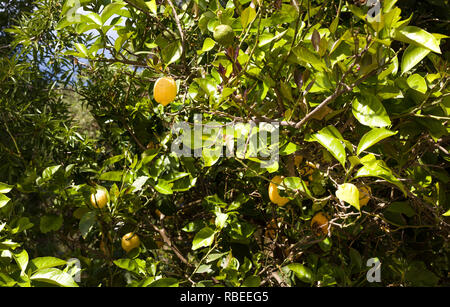 Ripe Yellow Lemon Hanging on a Tree. Bright Green Leaves with Sunlight Shining. Healthy Tropical Plant Bearing Citrus Fruit in a Farm. Season of Harve - Stock Photo