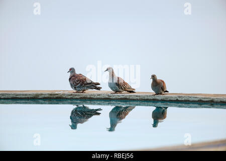 The speckled pigeon, Columba guinea, Nakuru, Kenya, Africa - Stock Photo