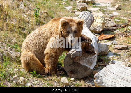 Himalayan brown bear (Ursus arctos isabellinus), also known as the Himalayan red bear, Isabelline bear or Dzu-Teh. - Stock Photo