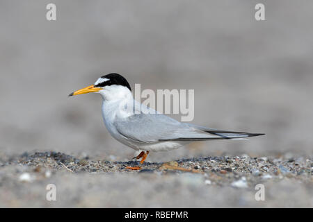 Little tern (Sternula albifrons / Sterna albifrons) on the beach in late spring / summer - Stock Photo